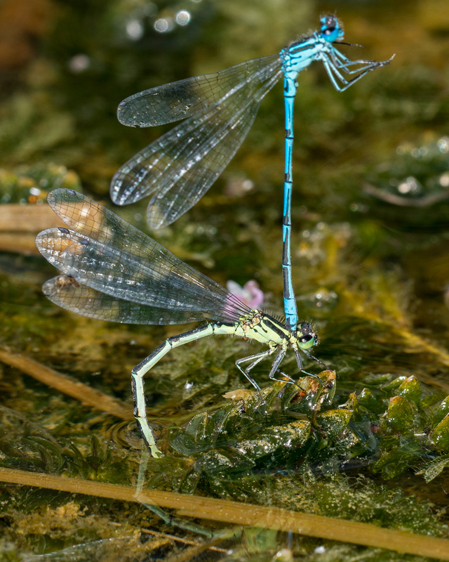 Azure Damselfly ovipositing