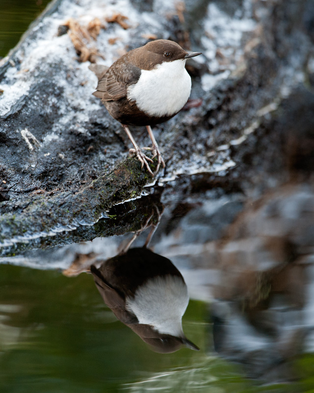 Black-bellied Dipper