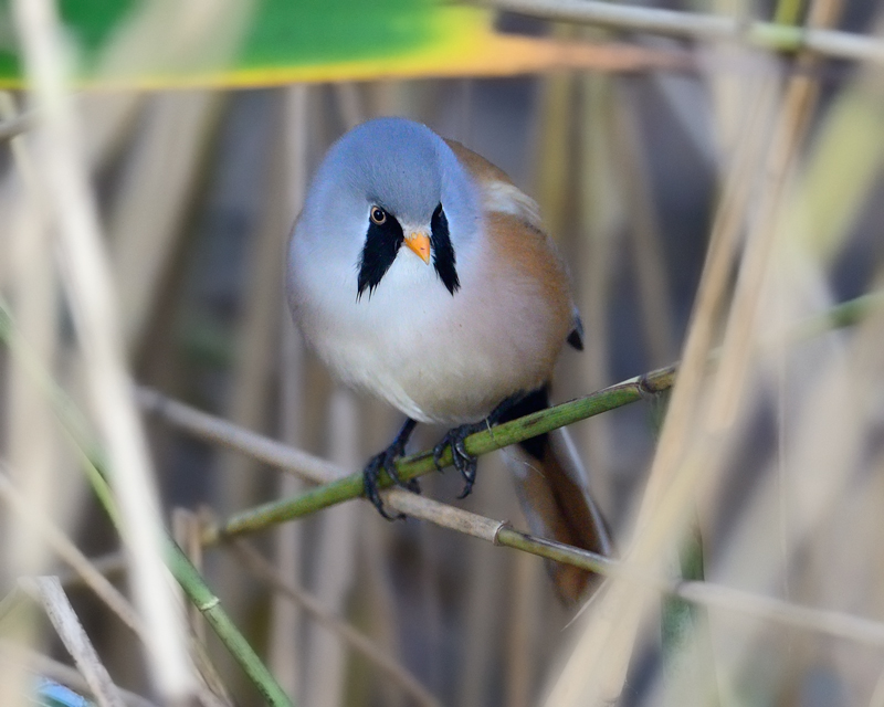 Bearded tit - male