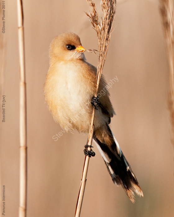 Bearded Tit Juv