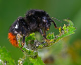 Queen Red-tailed Bee