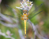 Black Darter female in plan