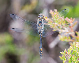 Black Darter male in plan