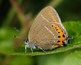 Black Hairstreak