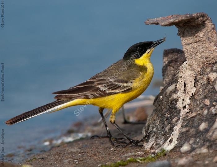 Black Headed Yellow Wagtail