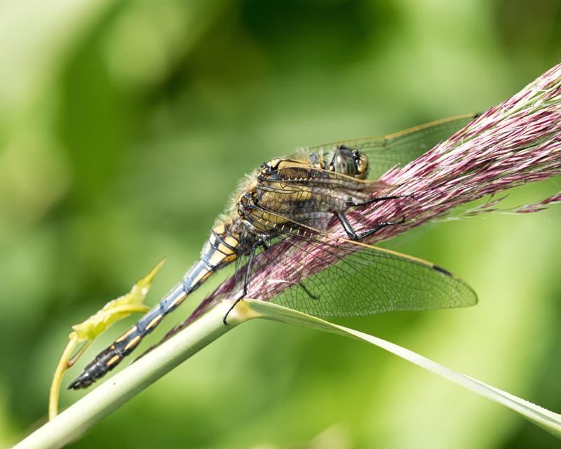 Black-tailed Skimmer - female