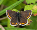 Open Brown Argus