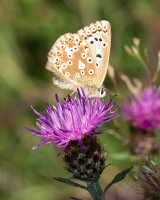 Chalkhill Blue female