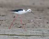 Black Winged Stilt - male