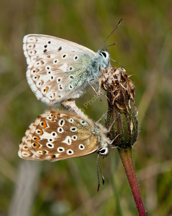 Chalkhill Blue mating