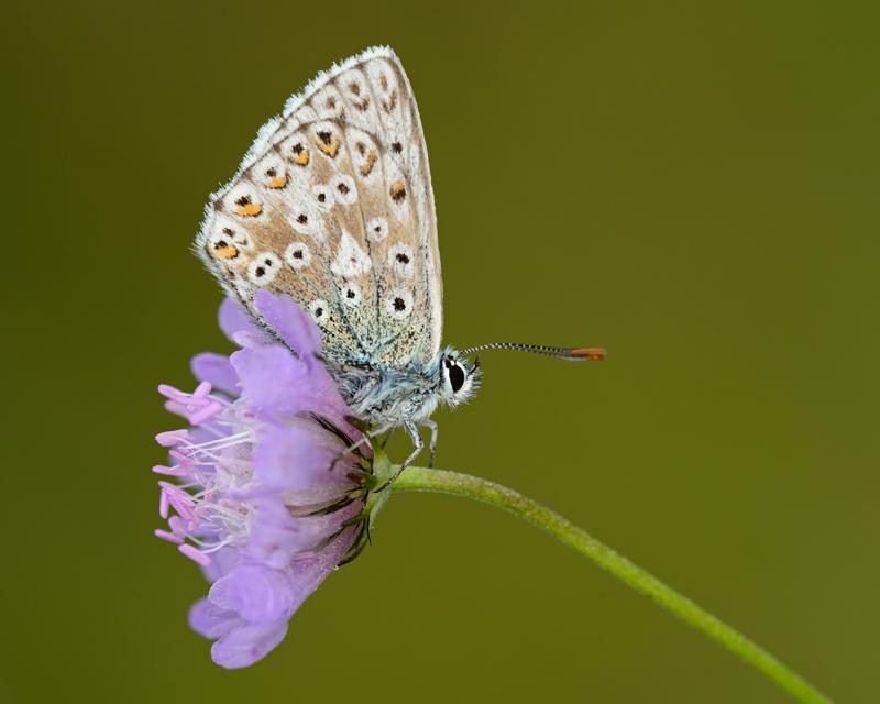Chalk Hill Blue female
