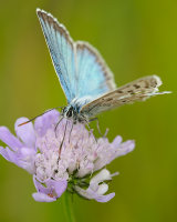 Chalk Hill Blue male