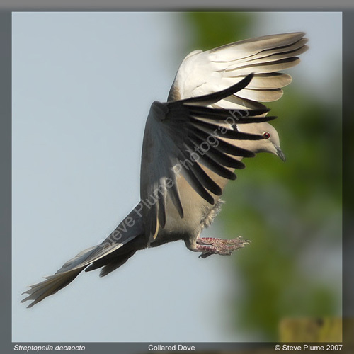 Collared Dove landing
