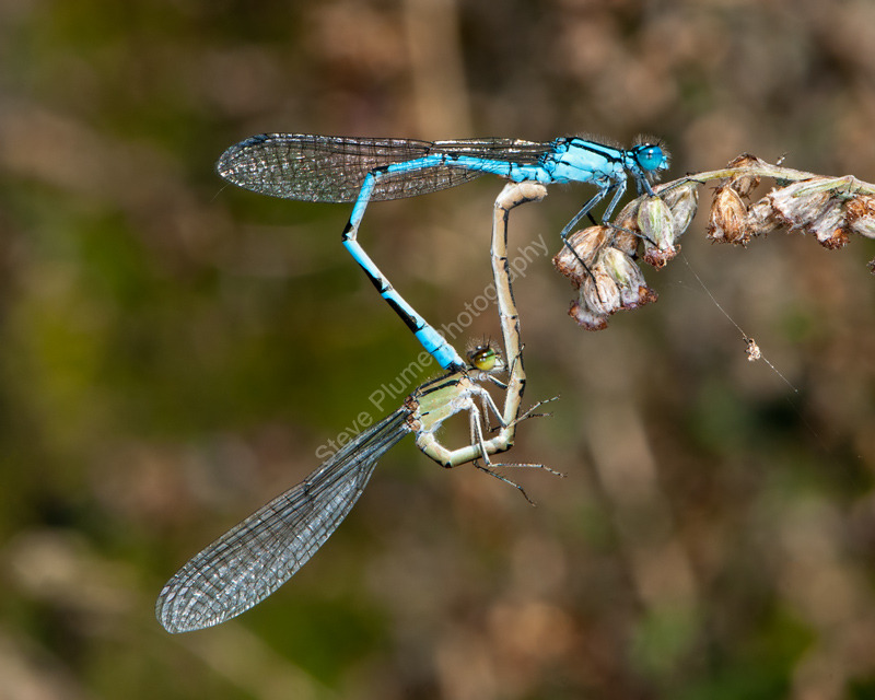 Common Blue mating