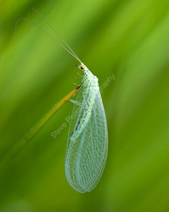 Common Green Lacewing