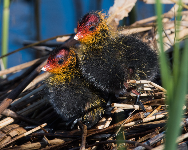Coot chicks