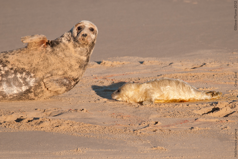 Grey Seal Cow and new born