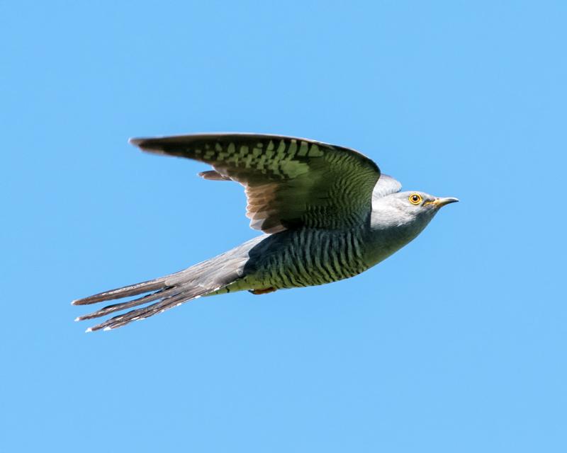Cuckoo - male