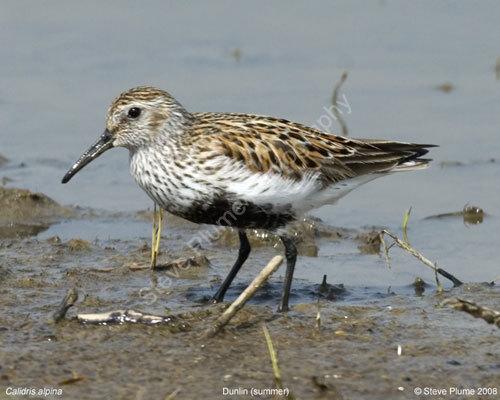 A Dunlin in summer plumage