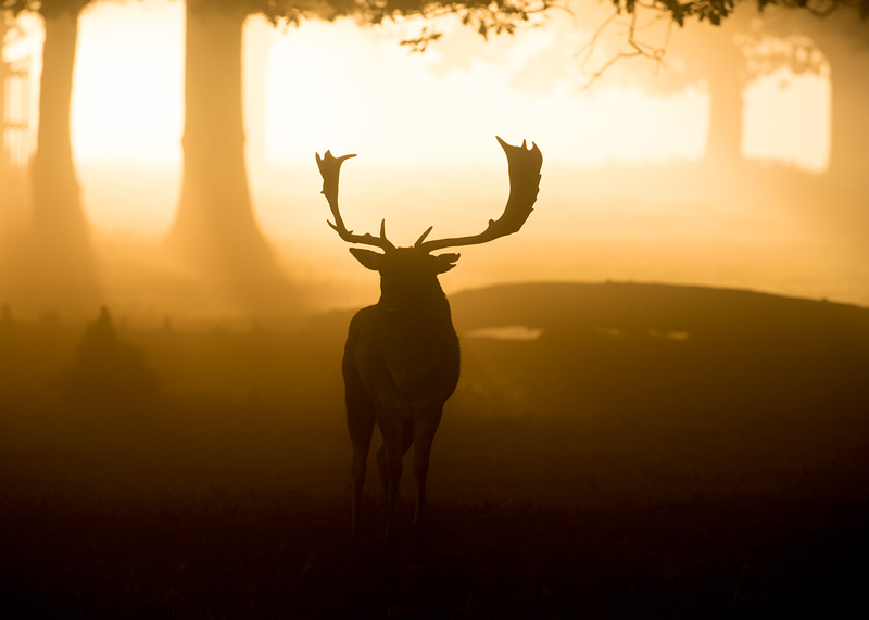 Sunrise Fallow Buck