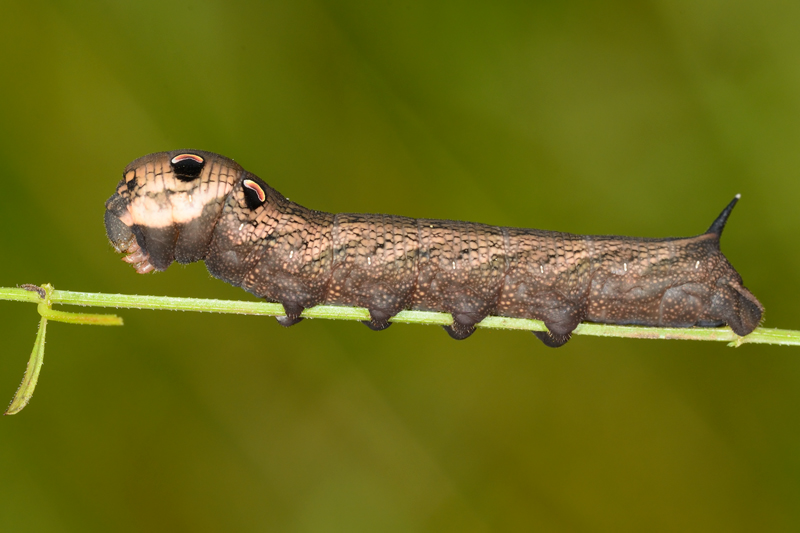 Elephant Hawk Moth - Caterpillar
