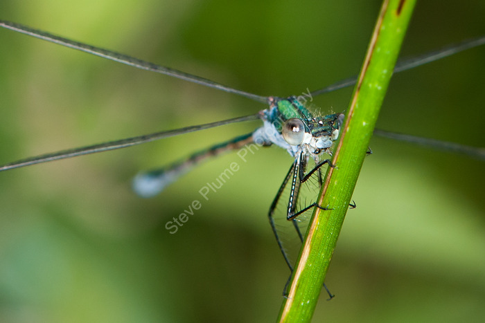 Emerald Damselfly male