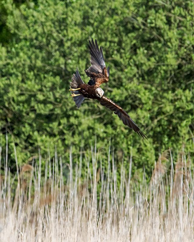 Marsh Harrier female