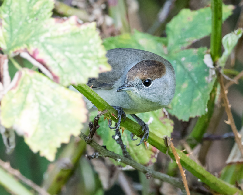 Blackcap female