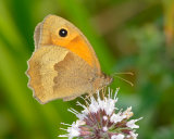 Meadow Brown female
