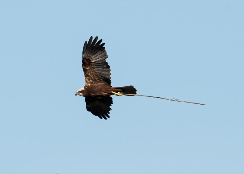 Marsh Harrier female improving the nest