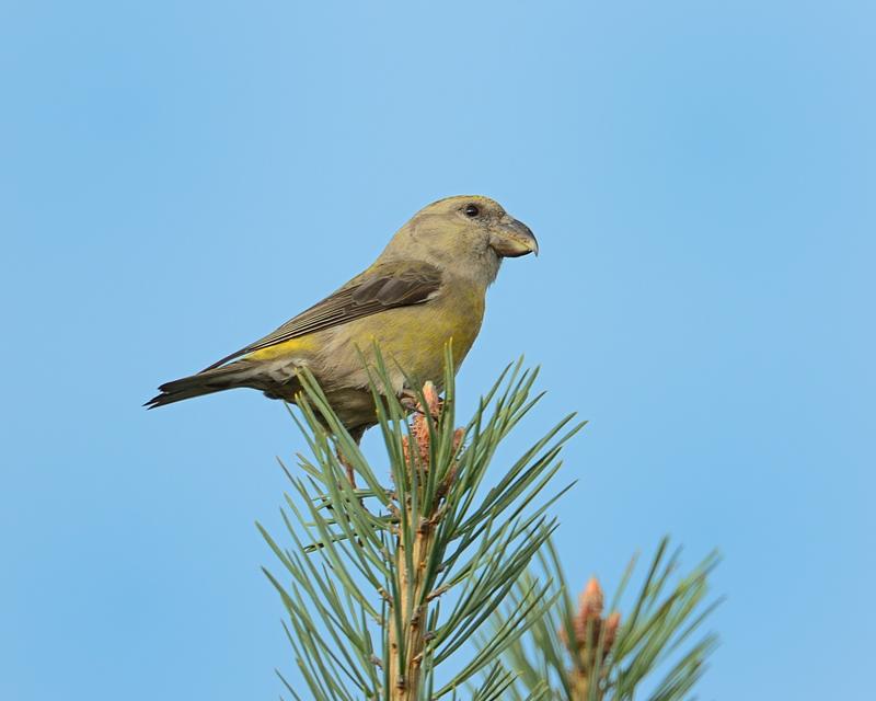 Parrot Crossbill female
