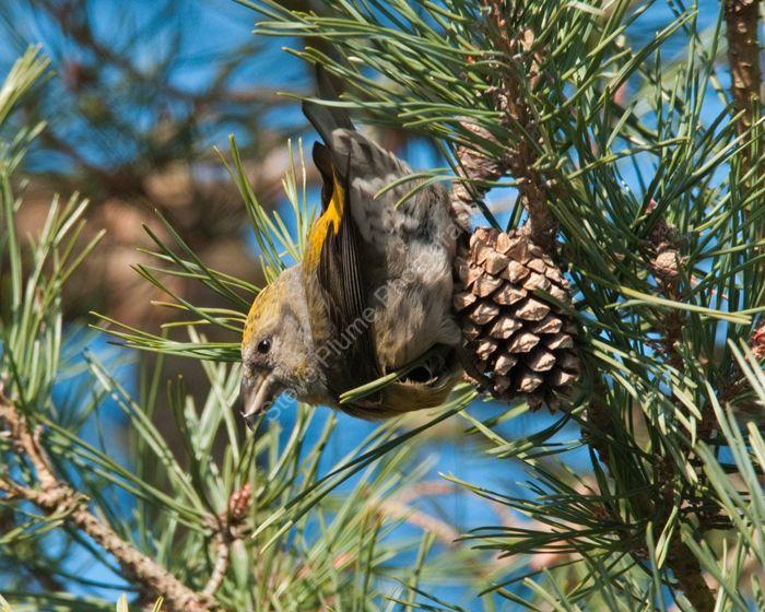 Female Common Crossbill