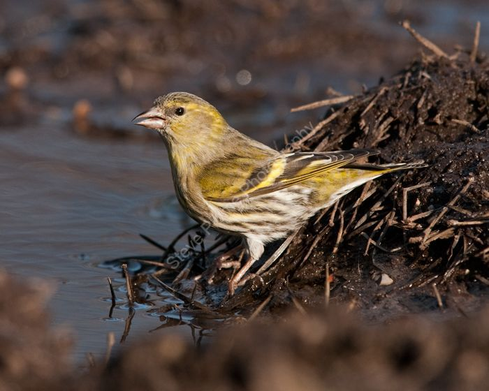Siskin female
