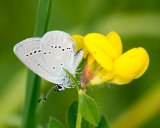 Small Blue - female