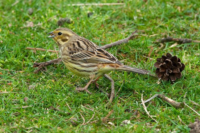 Yellowhammer female