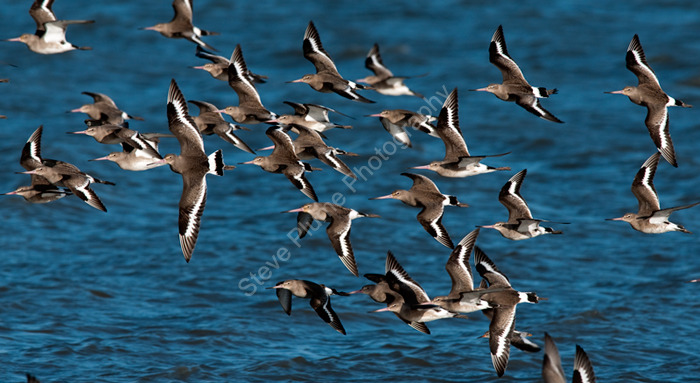 Partial flock of Black-tailed Godwits