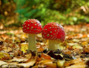 Closed Fly Agaric