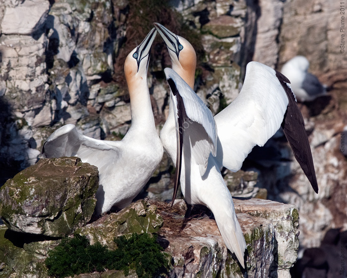 Gannets displaying