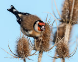 Goldfinch on Teasel
