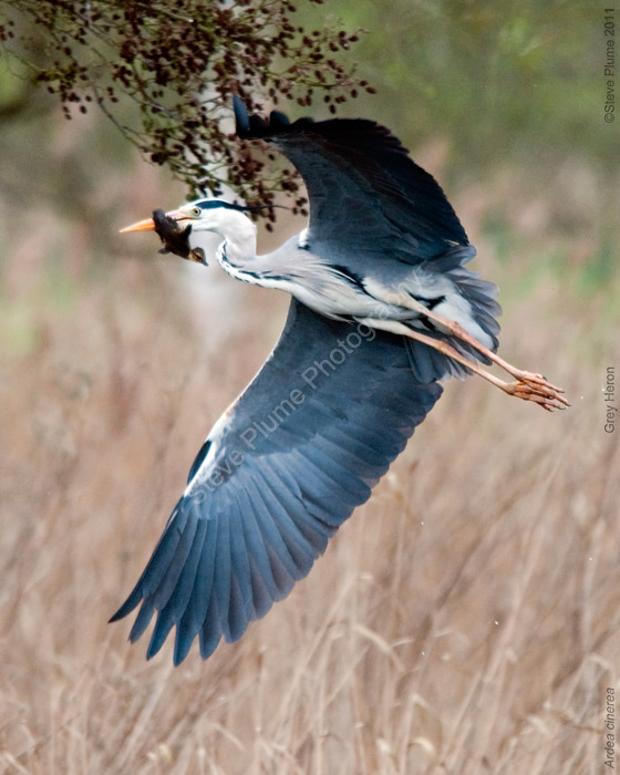 Grey Heron & meal