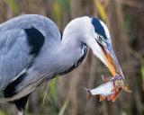 Grey Heron and Roach