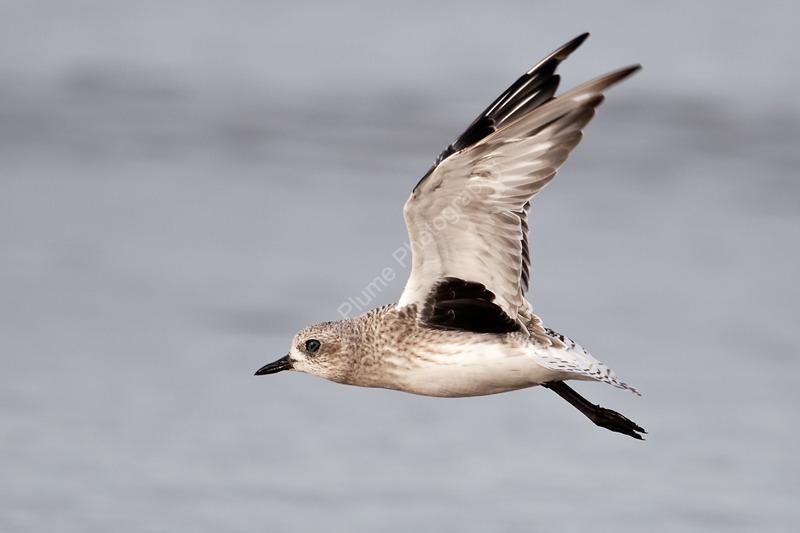 Grey Plover in flight