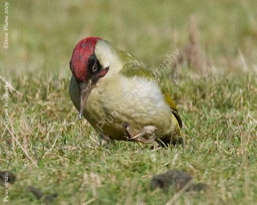 Green Woodpecker male