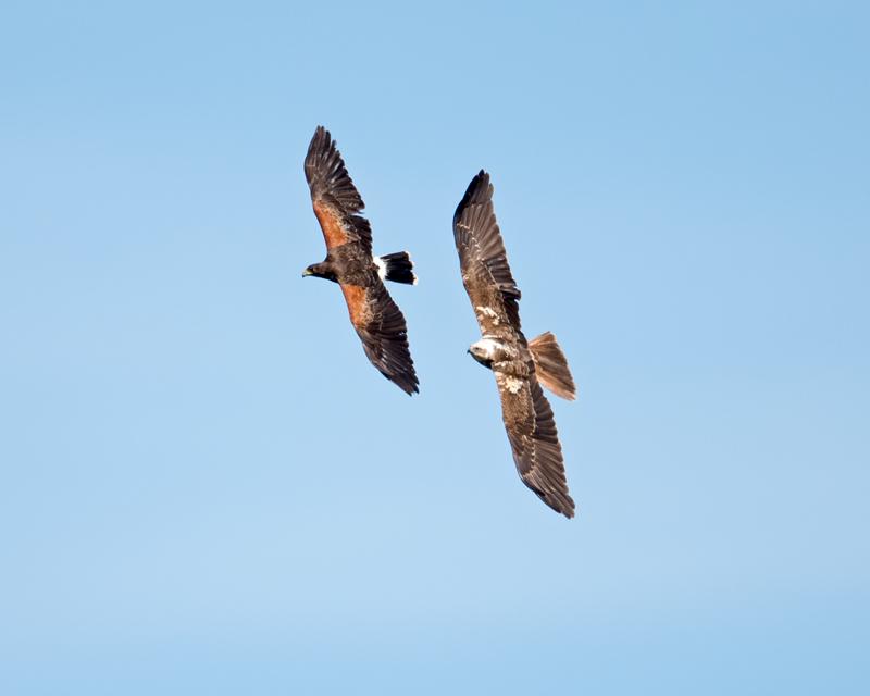 Harris Hawk and Marsh Harrier