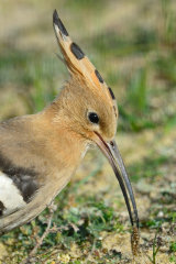 Hoopoe with grub