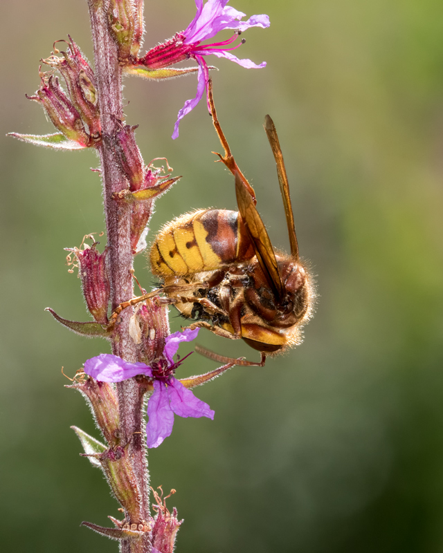 Hornet lunching on a bee