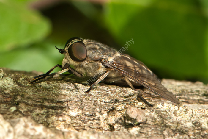 Giant Horse-fly