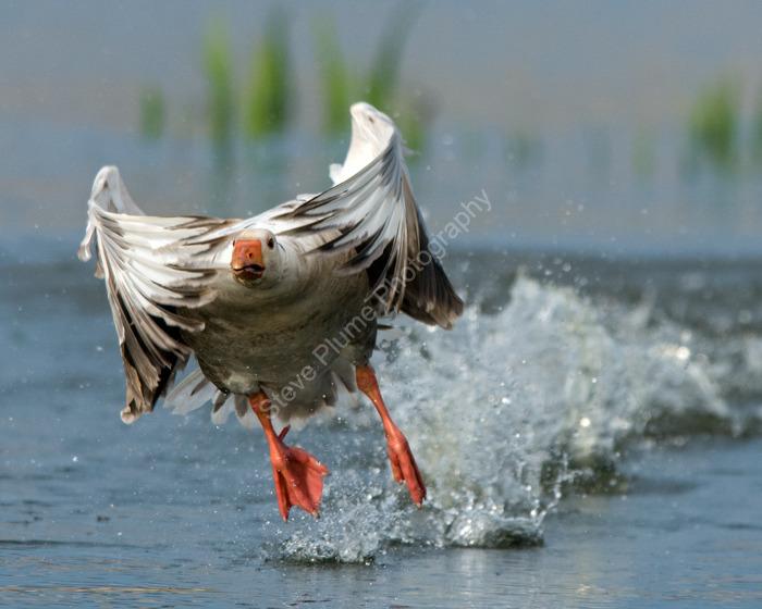 Greylag Goose (hybrid)