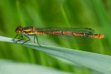 Large Red Damselfly (immature)