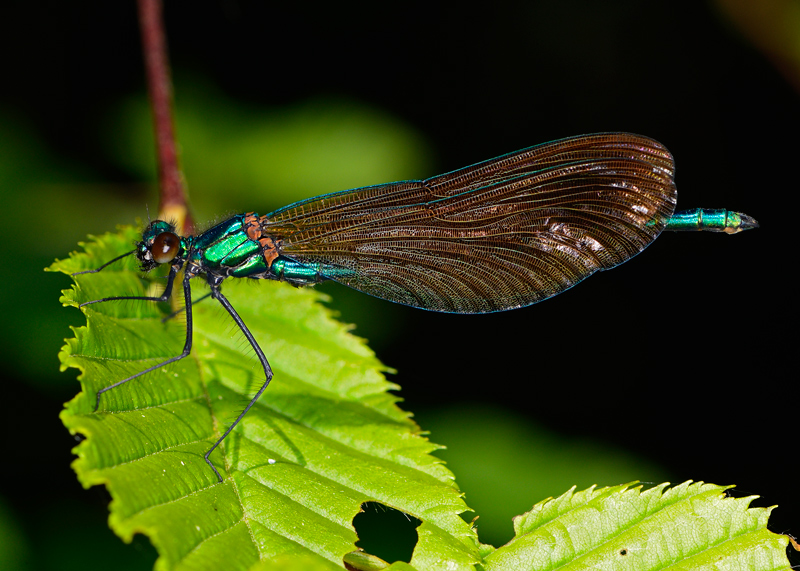 Immature Beautiful Demoiselle, male